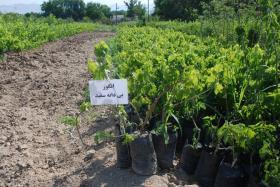 انگور بی دانه سفید  کیسه پر کاشت در تمام فصول سال