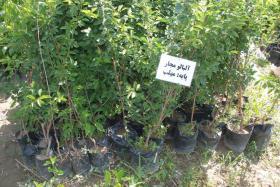 آلبالو مجار کیسه پر کاشت در تمام فصول